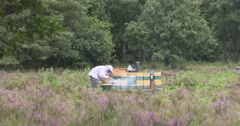 Beekeeper checks a brood frame of a bee hive in heathland Stock Footage
