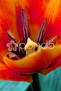 Vibrant orange tulip Stock Photos