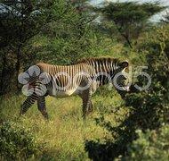 Zebra walking through the trees Stock Photos