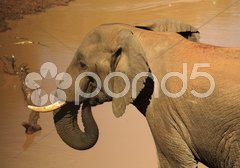 Elephant at a watering hole Stock Photos