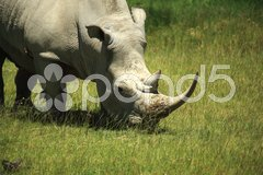 Rhino covered in flies Stock Photos