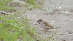 Sparrow jumps and pecks leaf slow motion video Stock Footage