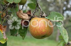 Apfel Stock Photos