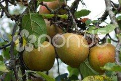 Äpfel Stock Photos