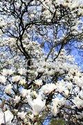 Magnolienbaum Magnolienbluete Frühling Stock Photos