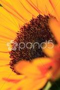 Fine art sunflower Stock Photos
