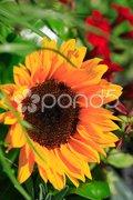 Sunflower in the garden Stock Photos