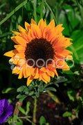 Sunny yellow sunflower Stock Photos
