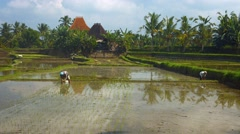 The peasants working in the rice plantations Stock Footage