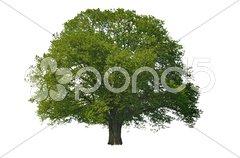 Baum Laubbaum Eiche Stock Photos