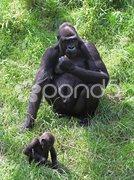 Affenmutter Stock Photos