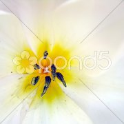 Tulpe Stock Photos