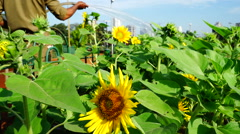 Watering sunflowers in urban garden. Stock Footage