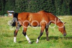 Horse, Val Visdende, Italy, July 2007 Stock Photos