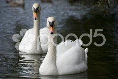 Dublin Swans, 2009 Stock Photos