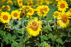 Sunflowers Field, Tuscany, July 2007 Stock Photos