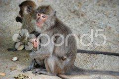 Group of Monkeys, Changmai, Thailand, August 2007 Stock Photos