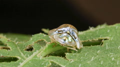 Tortoise beetle (Subfamily Cassidinae of family Chrysomelidae) Stock Footage