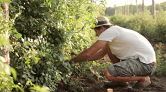Farmer picking a cherry tomatoes on organic farm Stock Footage