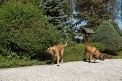 Two female of Fila Brasileiro (Brazilian Mastiff) Stock Photos