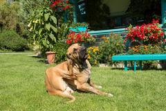 Female of Fila Brasileiro (Brazilian Mastiff) Stock Photos