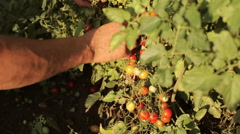 Hands of farmer picking a cherry tomatoes on organic farm Stock Footage