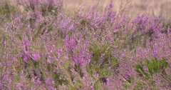 Common Heather, Calluna vulgaris blooms in summer breeze - low angle Stock Footage