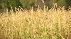 Ears of wheat ears of wheat in a field Stock Footage