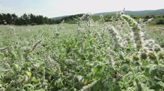 Wild sage flowers and plants shaking at wind Stock Footage