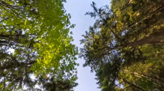 Driving through a forest of tall trees, looking upward Stock Footage