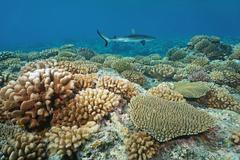 Corals with a grey reef shark in background Stock Photos