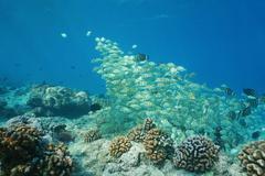 Fish school convict tang underwater Pacific ocean Stock Photos
