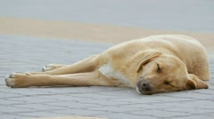 Vagabond light dog sleeping on the sidewalk slow motion video Stock Footage