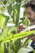 Farmer inspecting maize crop in field Stock Photos