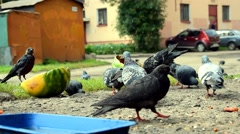 Pigeons and crows eating watermelon Stock Footage