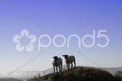 Zwei Schafe Stock Photos