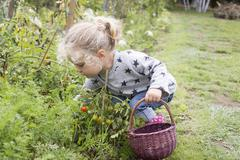 Little girl picking cherry tomatoes from vegetable garden Stock Photos