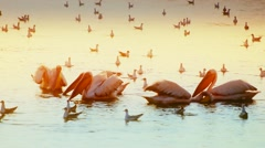 Pelicans fishing and hunting at dawn Stock Footage