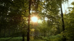 Forest still, Trees and Bugs at Sunset Stock Footage