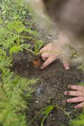 Child picking carrots from vegetable garden Stock Photos
