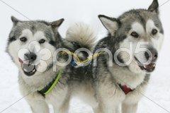 Husky Stock Photos