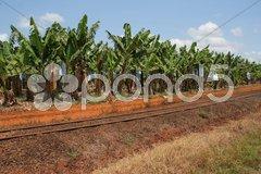 Bananenplantage in Australien Stock Photos
