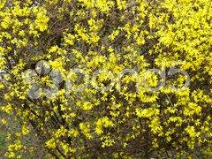 Forsythia flowers Kuvituskuvat