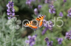 Schmetterling auf Lavendel Stock Photos