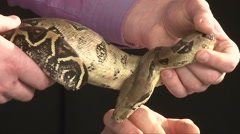 Large Boa Constrictor Moving In Man Hands, Close Up Shot Stock Footage