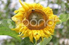 Sonnenblume Stock Photos