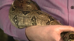 Man hold large snake constrictor in hands, close up shot Stock Footage