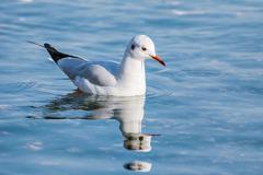 Seagull on Water Stock Photos