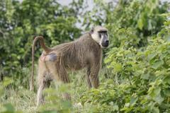 Wild monkey Africa field mammal animal Stock Photos