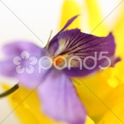 Forsythie und Blaukissen Stock Photos